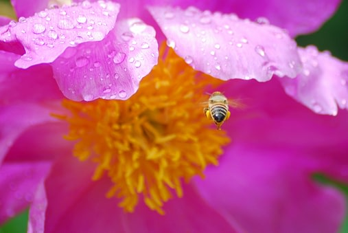 bright pink bee